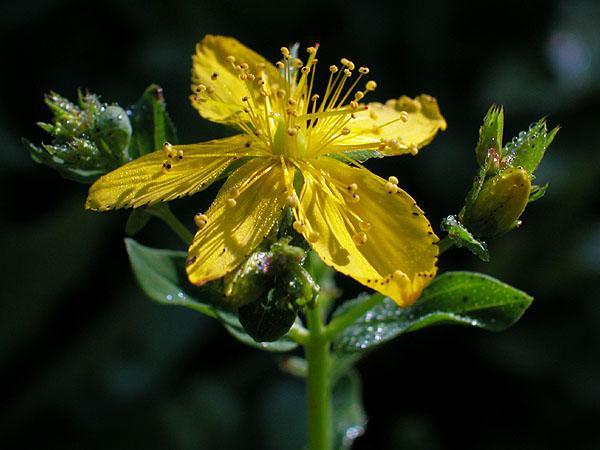 Hypericum perforatum - Perforate St Johns-wort -- Discover ...
